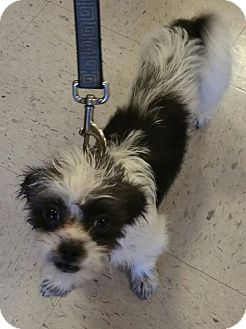 Shih Tzu/Terrier (Unknown Type, Small) Mix Dog for adoption in Houston, Texas - Tori