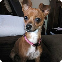 Chihuahua Mix Dog for adoption in New York, New York - Tink!