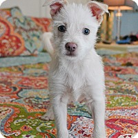 Westie, West Highland White Terrier/Chihuahua Mix Puppy for adoption in Allentown, Virginia - Arlo