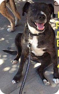 Labrador Retriever/Shepherd (Unknown Type) Mix Puppy for adoption in Dana Point, California - Lucretia