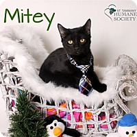 Domestic Shorthair Kitten for adoption in Covington, Louisiana - Mitey