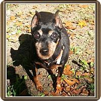 Miniature Pinscher Dog for adoption in Holland, Ohio - Blanche