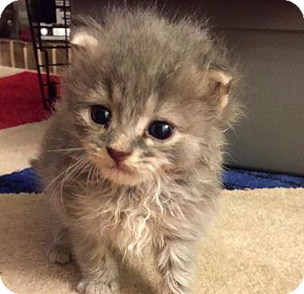 Domestic Mediumhair Kitten for adoption in Leonardtown, Maryland - Seraphina