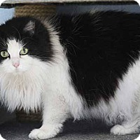 Domestic Longhair Cat for adoption in Batavia, Ohio - Lilly