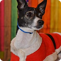 Rat Terrier/Jack Russell Terrier Mix Dog for adoption in South Amana, Iowa - Oreo