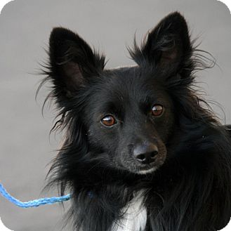 Spitz (Unknown Type, Small) Mix Dog for adoption in Palmdale, California - Bear