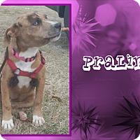 Adopt A Pet :: Praline - Ringwood, NJ