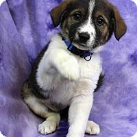 Adopt A Pet :: GABBI - Westminster, CO