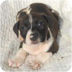 American Pit Bull Terrier/Hound (Unknown Type) Mix Puppy for adoption in Linden, New Jersey - Frankie