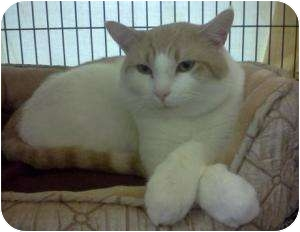 Domestic Shorthair Cat for adoption in Harriman, New York - Sammy