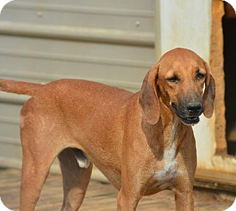 Hound (Unknown Type) Mix Dog for adoption in Grenada, Mississippi - Randy