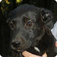 Adopt A Pet :: Brady - Chicago, IL