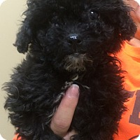 Adopt A Pet :: Black poodle pups - Fairview Heights, IL