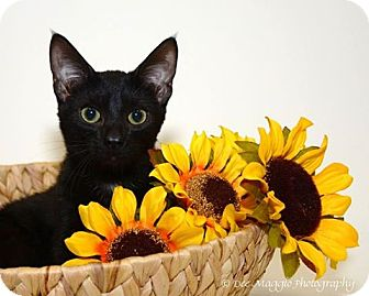 Domestic Shorthair Kitten for adoption in Hazel Park, Michigan - Ashton