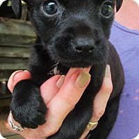 Adopt A Pet :: BRODIE - Lincolndale, NY