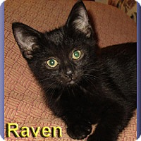Adopt A Pet :: Raven - Aldie, VA