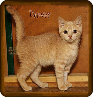 Domestic Shorthair Kitten for adoption in Shippenville, Pennsylvania - Denver