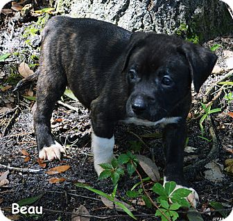 Catahoula Leopard Dog/Treeing Walker Coonhound Mix Puppy for adoption in Lake Pansoffkee, Florida - Beau