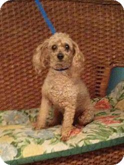 Poodle (Miniature) Dog for adoption in Tulsa, Oklahoma - Petey