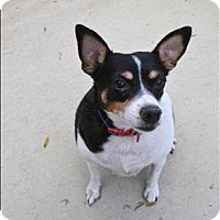 Rat Terrier Mix Dog for adoption in Delaware, Ohio - Frannie