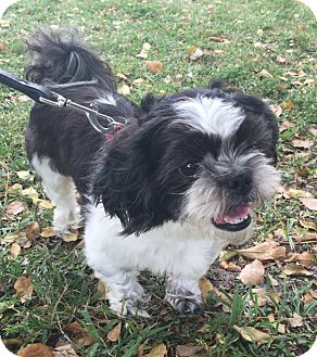 Shih Tzu Mix Dog for adoption in Boca Raton, Florida - King