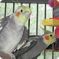 Adopt A Pet :: Tiel Crew - East Hartland, CT