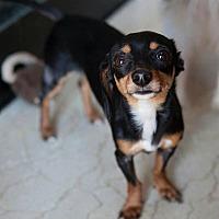 Adopt A Pet :: Blackie - Matthews, NC