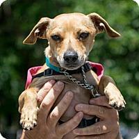 Adopt A Pet :: Sky Chiweenie - Woodland Park, NJ