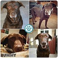 Adopt A Pet :: Rummy - Kimberton, PA