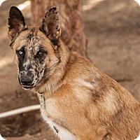 Adopt A Pet :: Jaxx- Gorgeous Malinois Mix - Federal Way, WA