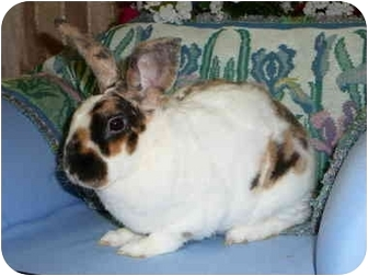 Mini Rex Mix for adoption in Newport, Delaware - Briscoe