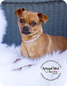 Pug/Chihuahua Mix Dog for adoption in Charlemont, Massachusetts - Mortisha