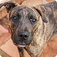 Adopt A Pet :: Bear - Blanchard, OK