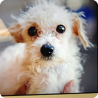 Adopt A Pet :: Mucia - Scottsdale, AZ