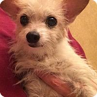 Adopt A Pet :: Tillie - Edmond, OK