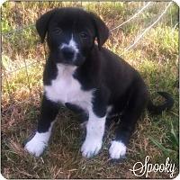 Adopt A Pet :: Spooky - Kyle, TX