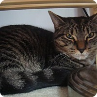 Domestic Shorthair Cat for adoption in Blackstock, Ontario - Houdini