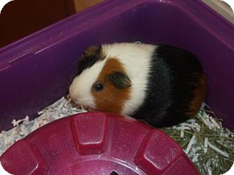 Guinea Pig for adoption in Gloucester, Virginia - BARBARA