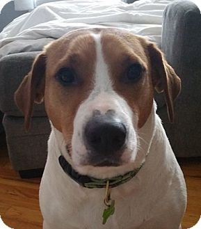 Hound (Unknown Type) Mix Dog for adoption in kennebunkport, Maine - Lola-in Maine-foster needed