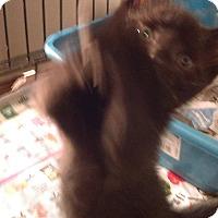 Adopt A Pet :: Black cat lovers - Whitestone, NY