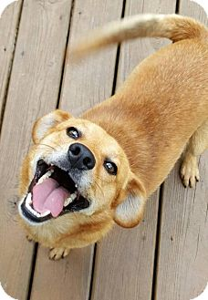 Corgi/Beagle Mix Dog for adoption in Bowie, Maryland - Finley- ON HOLD - NO MORE APPLICATIONS
