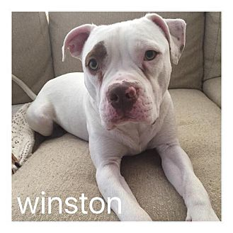 American Staffordshire Terrier/American Pit Bull Terrier Mix Dog for adoption in Dallas, Texas - Winston