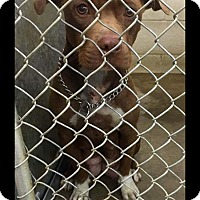Adopt A Pet :: Coco - ADOPTED! - Zanesville, OH