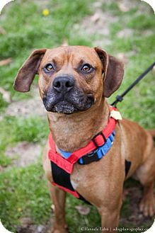 Boxer Dog for adoption in Washington, D.C. - Sherwin (Has Application)
