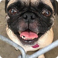 Adopt A Pet :: Taffy - Gardena, CA