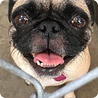 Pug Dog for adoption in Gardena, California - Taffy