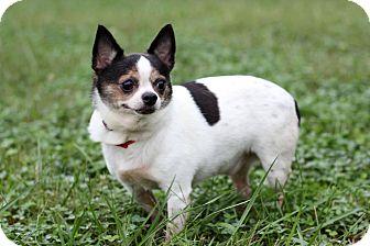 Chihuahua Mix Dog for adoption in Waldorf, Maryland - Oren