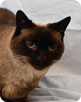 Siamese Cat for adoption in Greenfield, Indiana - Priscilla