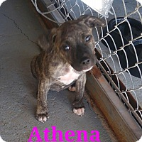 Pit Bull Terrier Mix Puppy for adoption in Wichita Falls, Texas - Athena