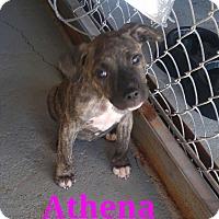 Adopt A Pet :: Athena - Wichita Falls, TX